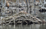 Canada Goose nest on a beaver lodge