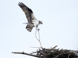 Osprey carrying nest material
