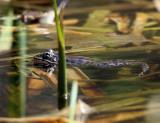 Northern Leopard Frog - Lithobates pipiens