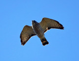 Broad-winged - Hawk Buteo platypterus