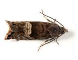 3425 - Speckled Sereda - Sereda tautana