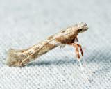 0627 - Povolnya quercinigrella
