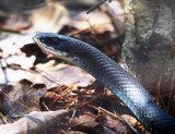 Northern Black Racer - Coluber constrictor constrictor