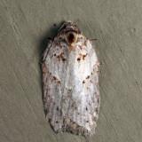 3558 - Acleris busckana