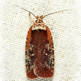 0869 - Walsingham's Agonopterix - Agonopterix walsinghamella