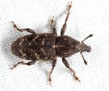 Pales Weevil - Hylobius pales