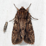 9333 - Wood-colored Apamea - Apamea lignicolora