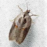 3543 – Stained-back Leafroller – Acleris maculidorsana