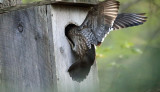 female Wood Duck flying into a nest box