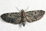 Eupithecia sp.