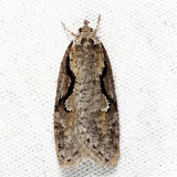 0912 - Packard's Concealer Moth - Semioscopis packardella