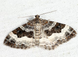 7394 - White-banded Toothed Carpet - Epirrhoe alternata