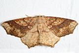 6885 - Oak Besma - Besma quercivoraria