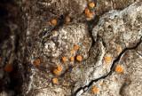 Sarea resinaceum