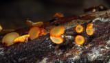 Arachnopeziza trabellinoides