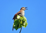 Brown Thrasher - Toxostoma rufum
