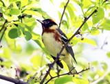 Bay-breasted Warbler - Setophaga castanea
