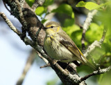 Cape May Warbler - Setophaga tigrina (female)
