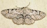 6588 - Bent-line Gray - Iridopsis larvaria