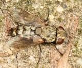 Phrosinella sp.