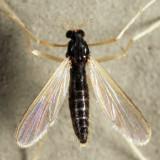 Phaenopsectra sp.