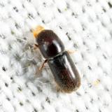 Pseudopityophthorus minutissimus