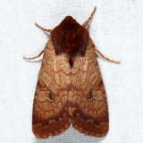 10265 - Rosewing - Sideridis rosea
