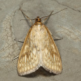 4987 - Dimorphic Sitochroa - Sitochroa chortalis