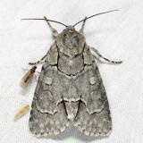 9209 - Radcliffe's Dagger Moth - Acronicta radcliffei