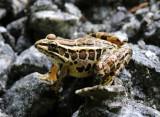 Pickerell Frog