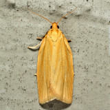 3684 - Clemens' Clepsis - Clepsis clemensiana