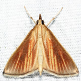 4937 - Streaked Orange - Nascia acutellus