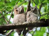 Eastern Screech Owlets - Megascops asio