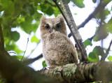Eastern Screech Owlet - Megascops asio