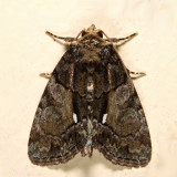 9556 - Cloaked Marvel - Chytonix palliatricula