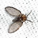 Quatiella sp.
