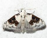 8989 - Sharp-blotched Nola - Nola pustulata