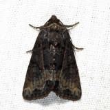 9415.1 - Marbled Minor - Oligia strigilis (melanistic)