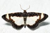 6261 - Common Spring Moth - Heliomata cycladata