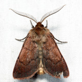 10993.1 - Hemipachnobia monochromatea