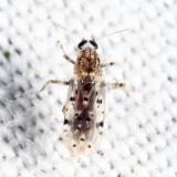 Alluaudomyia sp.