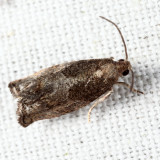 3228 – Gypsonoma salicicolana 6-6