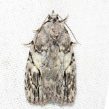 9664 - White-blotched Balsa - Balsa labecula