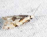 3754 - Angular Aethes - Aethes angulatana