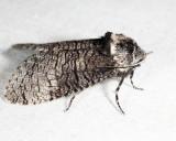 2694 - Little Carpenterworm Moth - Prionoxystus macmurtrei