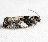 3229 - Gypsonoma adjuncta 6-8