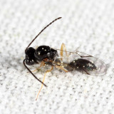 Figitidae - Anacharitinae