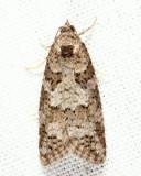 3567.1 - Gray Tortrix - Cnephasia stephensiana