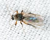 Ceratopogoninae
