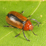 Clay-colored Leaf Beetle - Anomoea laticlavia